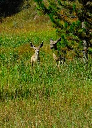Deer, Moran, WY, 2013