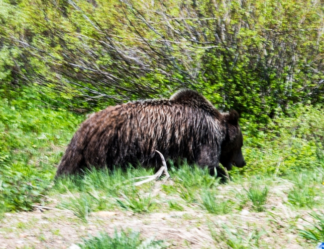 Juvenile Grizzly, near Togwotee Pass, WY, June 2017