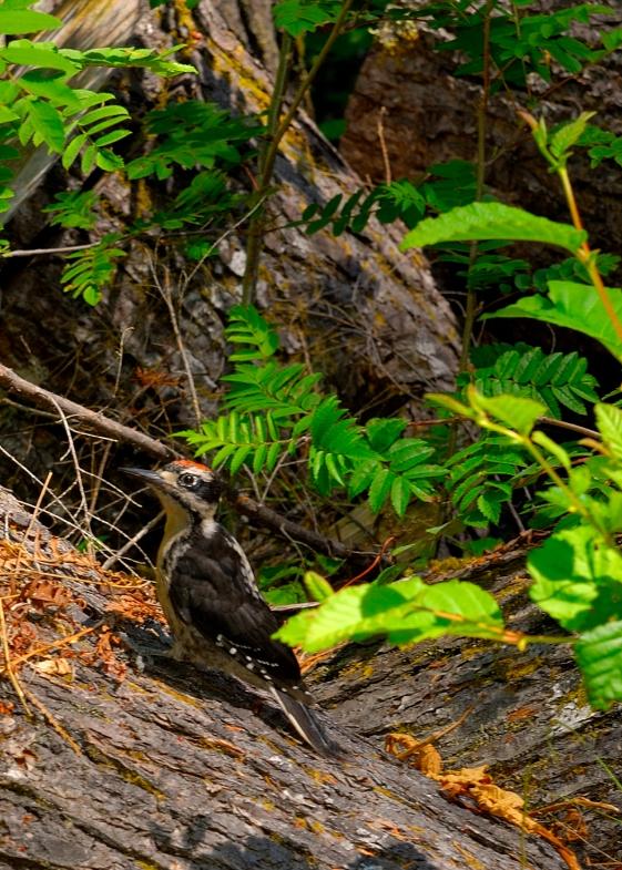 ONP, Hoh Rainforest_8, Woodpecker, Jul 2010, by JMGatlin