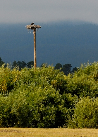 Osprey, West Yellowstone, 2013