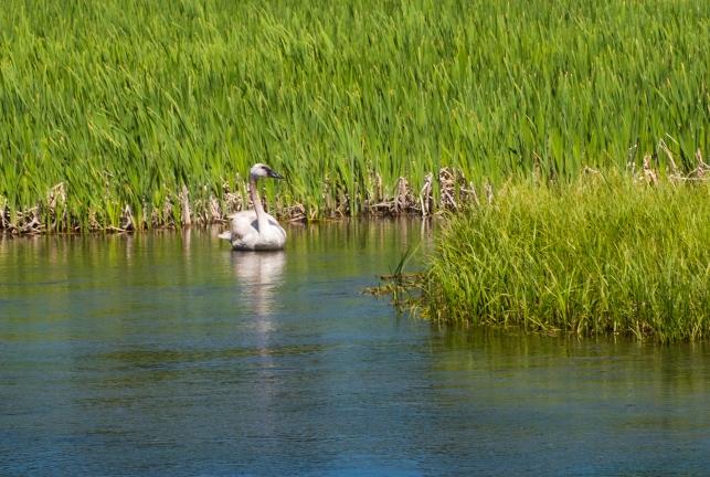 Trumpeter Swan_1, Polecat Creek, Moose, WY, 2017, by JMGatlin