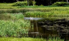 Trumpeter Swan_2, Polecat Creek, Moose, WY, 2017, by JMGatlin