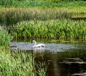 Trumpeter Swan_3, Polecat Creek, Moose, WY, 2017, by JMGatlin