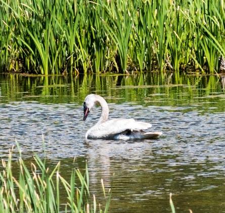 Trumpeter Swan_5, Polecat Creek, Moose, WY, 2017, by JMGatlin